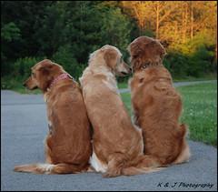 """ What's goin on Dad ? "" (John Neziol) Tags: kjphotography goldenretriever fieldretriever pointynoseddogs interestingdogposes dogpark dog pet animal scarborough ontario outdoor"