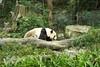 動物園_349 (Taiwan's Riccardo) Tags: 2014 taiwan digital color dslr nikond600 nikonlens afs nikkor zoom 18200mmf3556 vr 台北市 木柵 動物園 熊貓 panda 團團