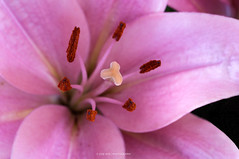 Lily (jrosvic) Tags: flower lilium nikond90 nikon60mm28dmicro cartagena murcia spain macrofotografía micro closeup