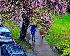 Another rainy spring day in Vancouver (peggyhr) Tags: peggyhr rain umbrellas people tree appleblossoms sidewalk spring red blue green grey black vancouver bc canada dsc09369c thelooklevel1red super~sixbronze☆stage1☆ thelooklevel2yellow infinitexposurel1 thegalaxy thelooklevel3orange thegalaxyhalloffame thelooklevel4purple thegalaxystars thelooklevel5green