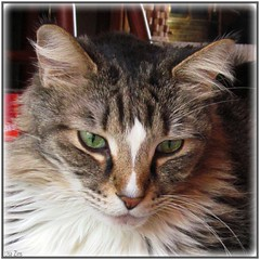Did you know I loved you? (Lisa Zins) Tags: jeremiah poem inmemory mainecooncat cat lisazins petsympathy petloss