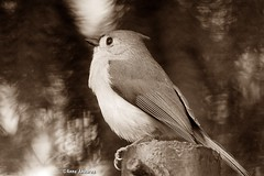 Tufted Titmouse in Sepia (Anne Ahearne) Tags: animal wildlife nature sepia tuftedtitmouse bird birds