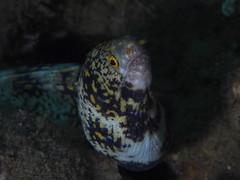 macro underwater olympus anilao 2014 epl5