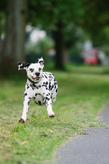 action with ball III (Bea Burin-Herbst | Fotografie) Tags: dog pet pets dogs canon ball action outdoor hund dalmatian hunde snape 200mm rde dalmatiner petphotography tierfotografie petphotographer ef200 5dmarkiii haustierfotografie petspetphotography burinherbstphotography