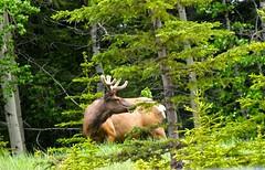C-Level Cirque Hike - Elk! (benlarhome) Tags: canada trekking trek nationalpark hiking path walk wildlife hike trail alberta banff wilderness wildflower cirque wandern clevel