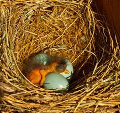 Just-hatched bluebird (Lindell Dillon) Tags: nature bluebirds easternbluebird normanok babybluebird hallbrooke lindelldillon