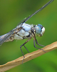 Great blue skimmer, male (Vicki's Nature) Tags: blue portrait male canon georgia eyes dragonfly turquoise sweep biello threecolors twocolors bigmomma greatblueskimmer libellulavibrans gamewinner 0066 vickisnature sx30 storybookwinner storybooksweep gameonemedal readygamex2 mothernaturemacro storybookmacronature originallyposted73142ndshot gameturquoise readyspecinsect