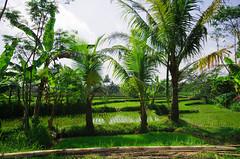 rice&palms