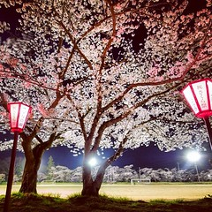#sakura #cherry #cherryblossoms #japan #fukushima #festival #beautiful #night #pink (atsushi0208) Tags: square squareformat hudson iphoneography instagramapp uploaded:by=instagram foursquare:venue=4bde36730ee3a593096a30b0