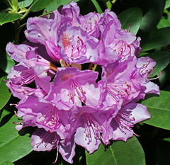 Rhododendronblte (vab_strauch) Tags: spring blossom shrub blume blte strauch springtime frhling fruehling bluete inflorescence springflower frhjahrsblher frhlingsblher bltenstand infloreszenz rhododendronblte bluetenstand fruehlingsblueher fruehjahrsblueher rhododendronbluete