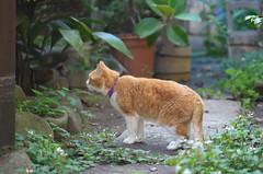 東京路地裏散歩 谷中のネコ 2014年6月15日 (Tokutomi Masaki) Tags: animal cat 東京 猫 散歩 ねこ yanaka 2014 ネコ 谷中 路地裏散歩 東京路地裏散歩