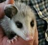 possumsbaby (JAMES HALLROBINSON) Tags: possum baby kentucky wildlife