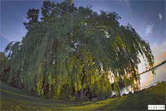 Wheeping Willow | HDR (Liam Higgins Photography) Tags: blue light red sky sunlight ontario canada tree leaves yellow golden high dynamic willow hour windsor range drooping hdr highdynamicrange goldenhour wheeping