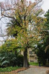 Autumn at UWA (EggHdz) Tags: autumn tree fall leaves australia westernaustralia universityofwesternaustralia crawley uwa goldencolour