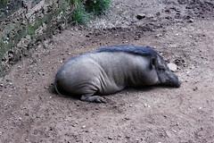 Wild Boar (Achala Photography) Tags: animal 動物 동물 动物 achala حيوان rajapaksha haiwan животное สัตว์ விலங்கு पशु পশু සත්තු