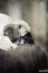 Pug Lola (brat_ro) Tags: dog pet cute animal artistic digitalart lola pug effect laax