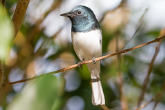 Leaden Flycatcher Townsville Qld (danny.mccreadie2) Tags: flycatcher leaden