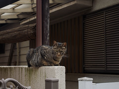 glare (kasa51) Tags: street japan cat tokyo glare 猫 ねこ ネコ 睨む lumixgxvario1235mmf28
