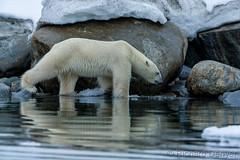 _Y6Q0204 (Richard Denyer) Tags: svalbard polarbear