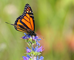 Sweet Treat (Doris Burfind) Tags: summer orange nature butterfly insect countryside monarch monarchbutterfly