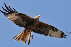 Rotmilan (dimoka.de) Tags: milan adler raubvogel falke greif geier adlerwarte greife berlebeck weiskopfseeadler grifftter