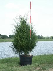Eastern Red Cedar 30g 7-10-14