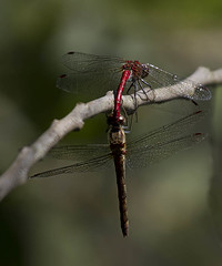 Dragonfies (Nanooki) Tags: westsussex dragonfly mating woodsmill