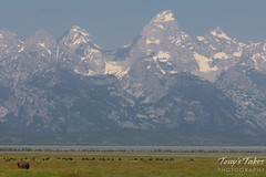 Bison graze on the prairie beneath the Grand Tetons
