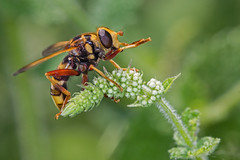 Milesia crabroniformis ♀ (Sinkha63) Tags: france macro nature animal female fly wildlife fra hoverfly mouche corrèze limousin syrphidae diptera beynat insecta syrphe milesia milésiefauxfrelon milesiacrabroniformis milesiefrelon annesorbes