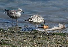 an extensive menu to choose from (scouser185) Tags: gulls blackbackedgull