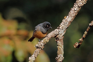 Rufous-bellied Tit, Sakania, DRC
