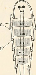 Anglų lietuvių žodynas. Žodis vermian reiškia a kirmėlių; kirmėliškas lietuviškai.