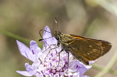 Ochlodes venata (Jaume Bobet) Tags: macro canon sigma lepidoptera mariposa bobet insecto hesperiidae ochlodes venata
