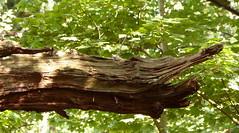 All Aligators must be logged! (Les Fisher) Tags: tree log aligator northnorfolk sheringhamwoods