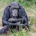 Schimpanse / Chimpanzee