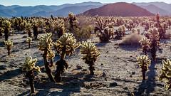 Cholla Cacti (romankoch) Tags: california cactus cacti nationalpark joshuatree cholla