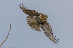Takeoff - Red Tailed Hawk (My Kona Girl) Tags: colorado redtailedhawk cherrycreekstatepark coloradowildlife canon60d