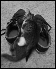 Cat Attack 1 (young eclectic images) Tags: blackandwhite bw picasa kittens lookingdown wyatt jpy kittenplay thematicphotographic augustbreak youngeclecticencountersblogspotcom