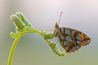 Issoria lathonia (Queen of Spain Fritillary, kleine parelmoervlinder)