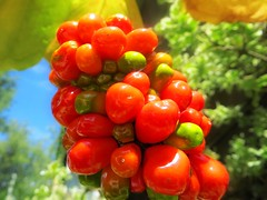 Jack-in-the-Pulpit-Berries-2