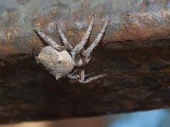 Araneidae>Eriophora? Garden Orb weaver spider DSCF2494 (Bill & Mark Bell) Tags: exmouth westernaustralia australia geo:town=exmouth geo:state=westernaustralia geo:country=australia geo:lon=11425453egeolat2217752sgeoalt8m 11425453e2217752salt8m taxonomy:kingdom=animalia animalia taxonomy:phylum=arthropoda arthropoda taxonomy:class=arachnida arachnida taxonomy:order=araneae araneae taxonomy:family=araneidae araneidae taxonomy:genus=eriophora eriophora taxonomycommonnamegardenorbweaverspider gardenorbweaverspider spider