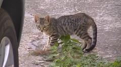 Boom (Diary of a Feral Cat) Tags: boss cats pets animals alan cat de apache diary tiger gatos el boom foster napoli brave tigre diario goku darky herdy gerdy amedia trign