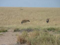 Honeymoon Trip - The Masai Mara (August 2013) (irlLordy) Tags: trip holiday honeymoon kenya august safari hyena masaimara 2013