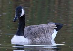 Canada Goose (RickykcWong) Tags: ontario nature water canon eos goose tamron richmondhill 70d 150600mm rickykcwong