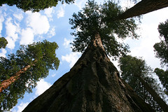 Today I Stood Among Giants. (theeqwlzr) Tags: california beautiful clouds amazing bluesky wilderness wtf sequoianationalpark centralcalifornia sequoiatrees canonrebelxti