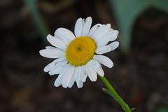 Daisy (R Ness photos) Tags: sooc tamron180mmf35macro sonya7 acratechballhead unilocmajortripod sonylaea3
