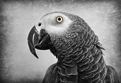 Arthur, our Parrot (imageClear) Tags: arthur parrot africangreyparrot pet animal bird domesticated eye beak feathers closeup imageclear flickr photostream iphone6 talker