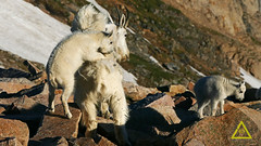 Baby Riding Moms Back (jerefolgert) Tags: three two mountain goat young baby juvenile kids riding back saddle resting ride straddle coat white talus pika poop eating spring mountains