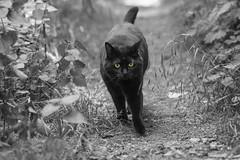 Daily Patrol (pwendeler) Tags: cat katze schwarzekatze blackcat patrol woods wald colorkey blackandwhite schwarzweis sony sonynex7 waldweg chat gato gatonegro