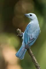 Blue-gray Tanager (Thraupis episcopus) (Hamilton Images) Tags: bluegraytanager thraupisepiscopus bird feathers canopybb tropicalforest canopytower panama centralamerica canon 7dmarkii 500mm february 2017 img9991
